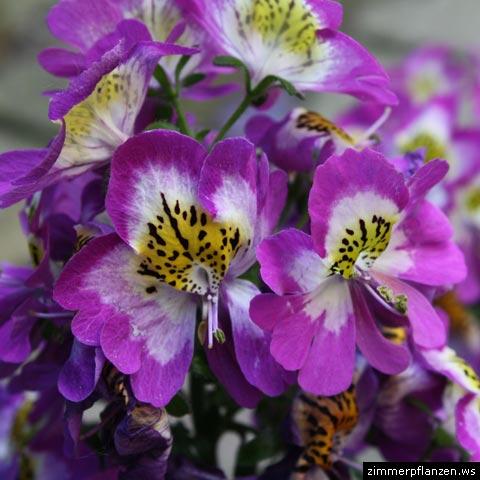 bauernorchidee blüten