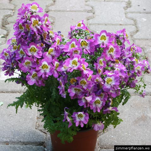 bauernorchidee