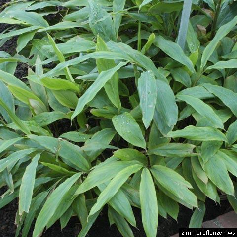 Ingwer zingiber officinale - Asiatische zimmerpflanzen ...