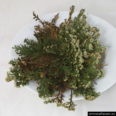 auferstehungspflanze