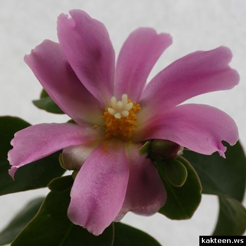 pereskia grandifolia bluete
