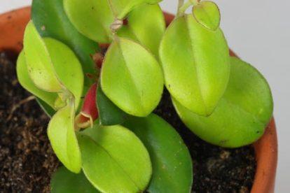 x codonanthus tambourine