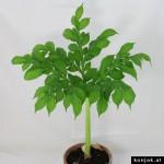 amorphophallus albus