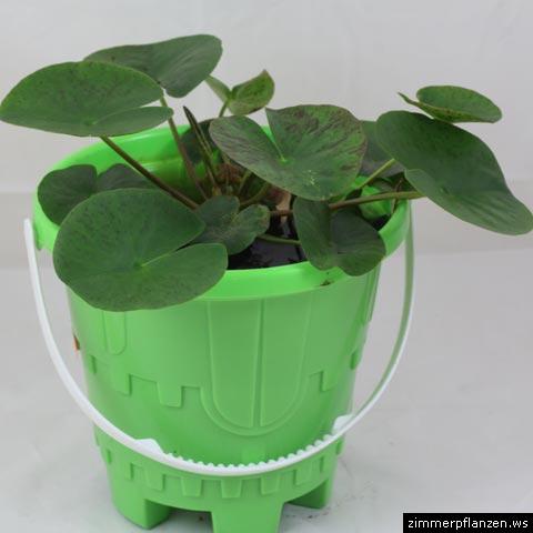 zwergseerose nymphaea marliacea. Black Bedroom Furniture Sets. Home Design Ideas