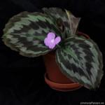 kaempferia roscoeana