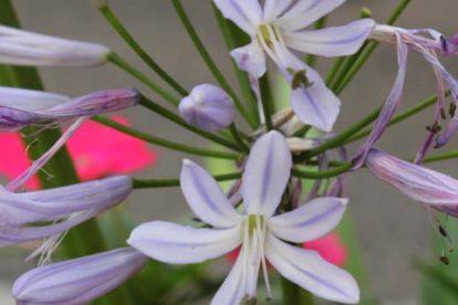 agapanthus hybride