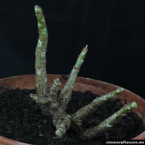 pelargonium cotyledonis caudex