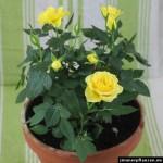 rosen im topf