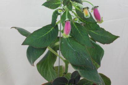 kohleria warszewiczii