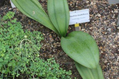 rauhia multiflora