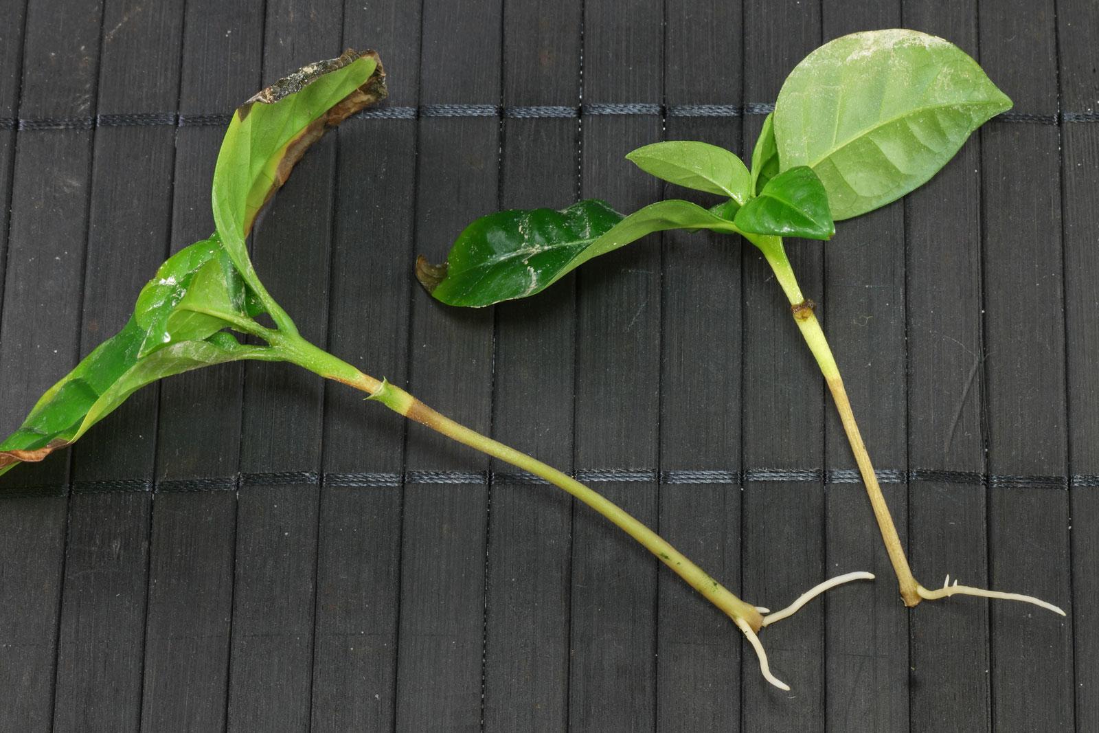 Kaffeepflanze Stecklinge