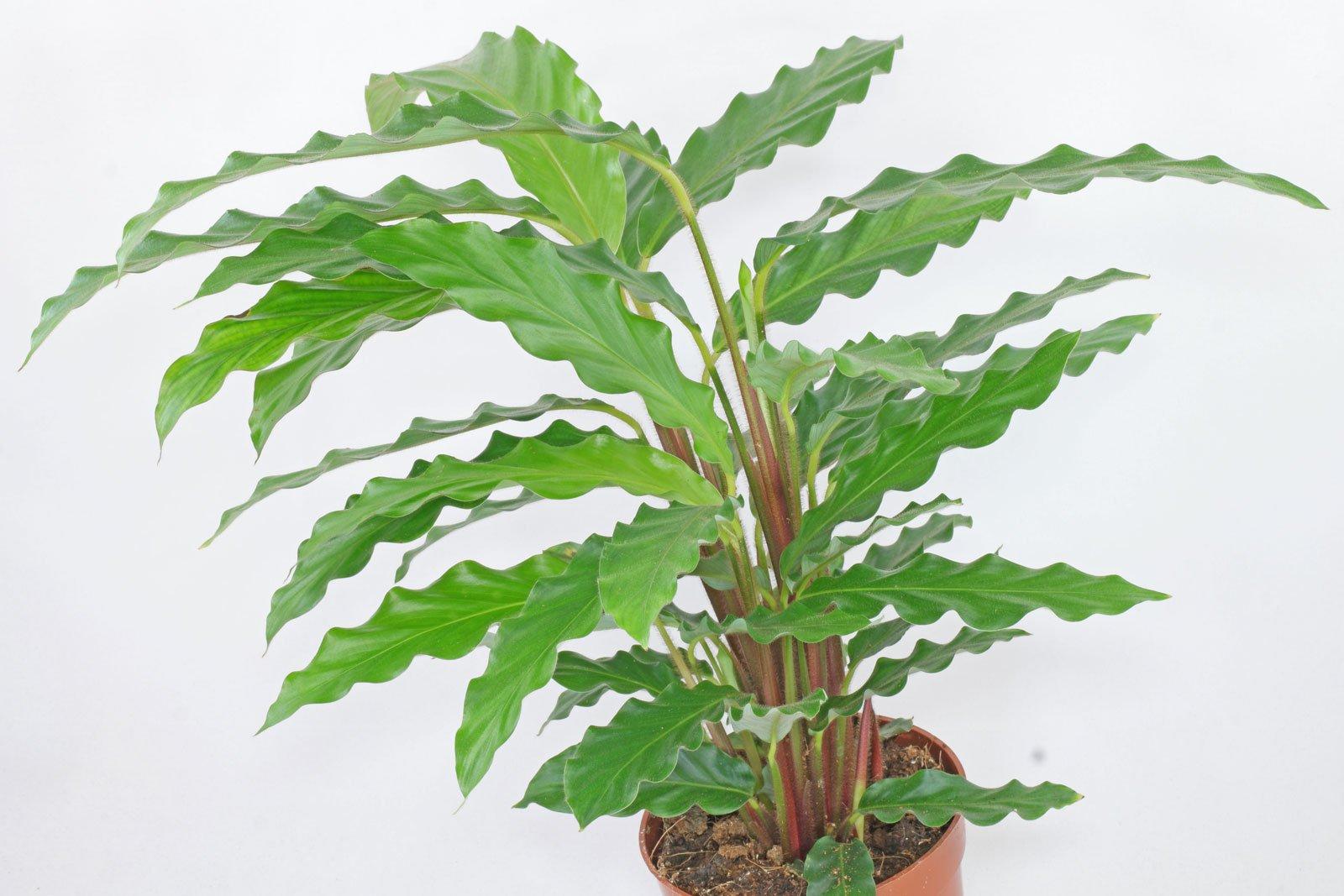 Calathea rufibarba