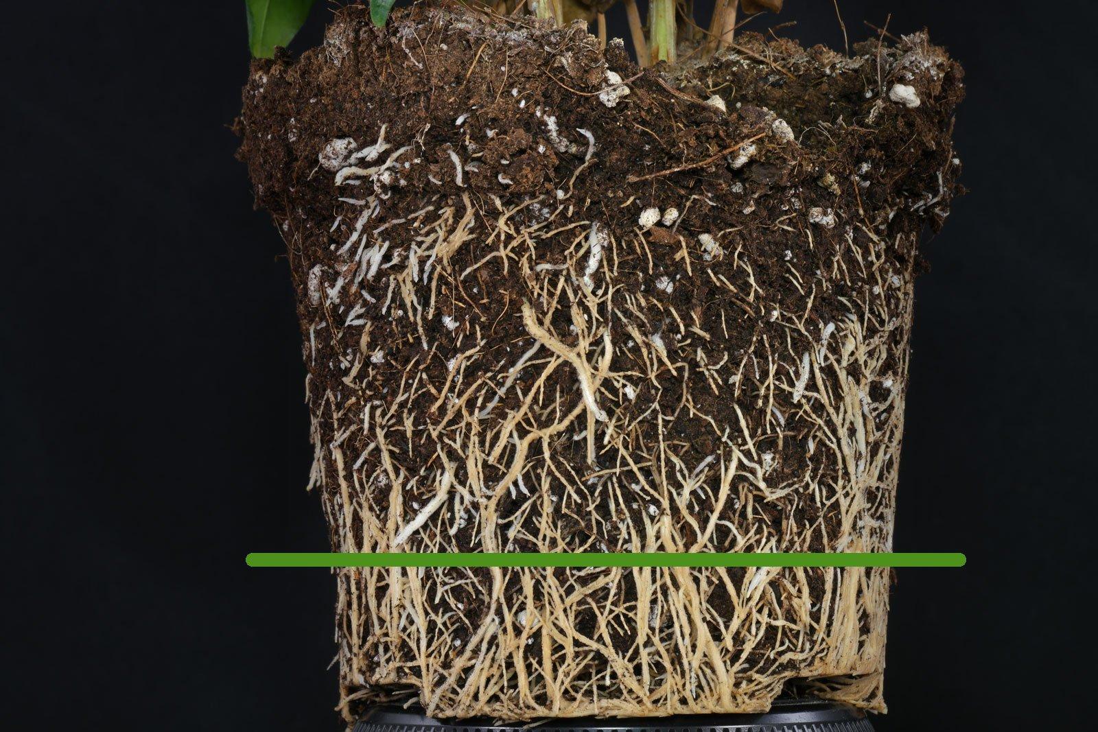 Kaffepflanze Wurzeln