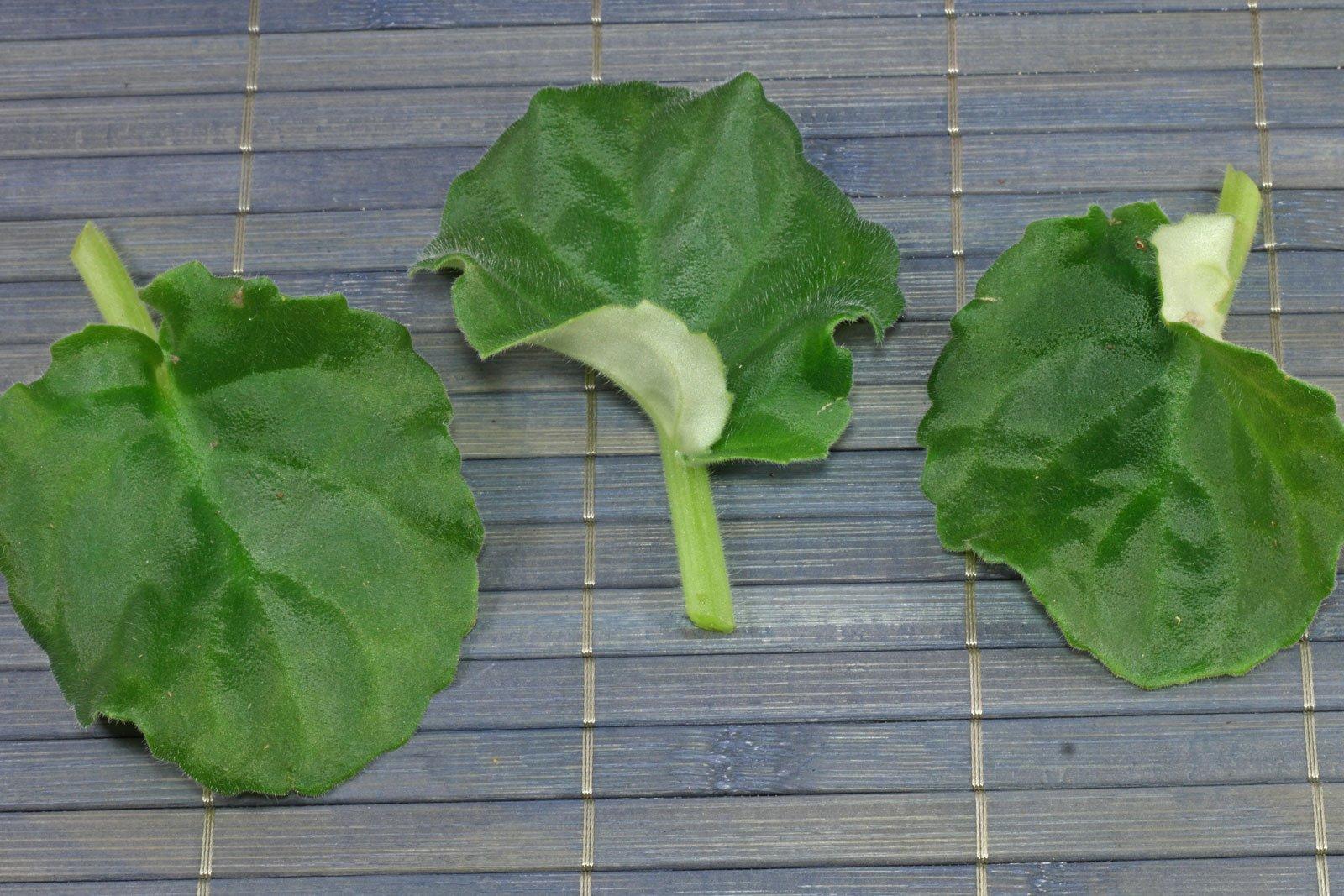 Usambaraveilchen Blätter