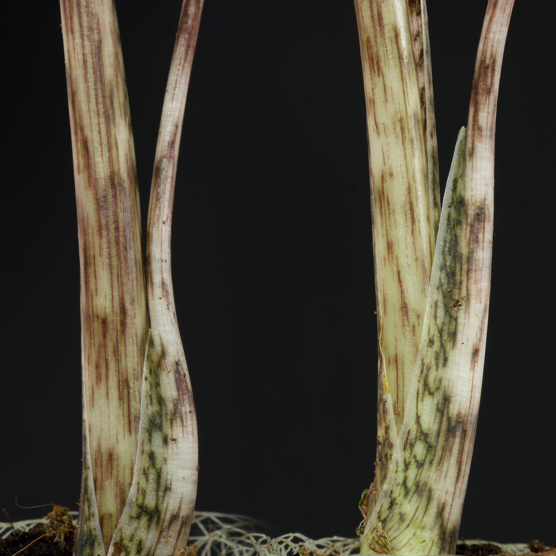 Alocasia zebrina Blattstiele