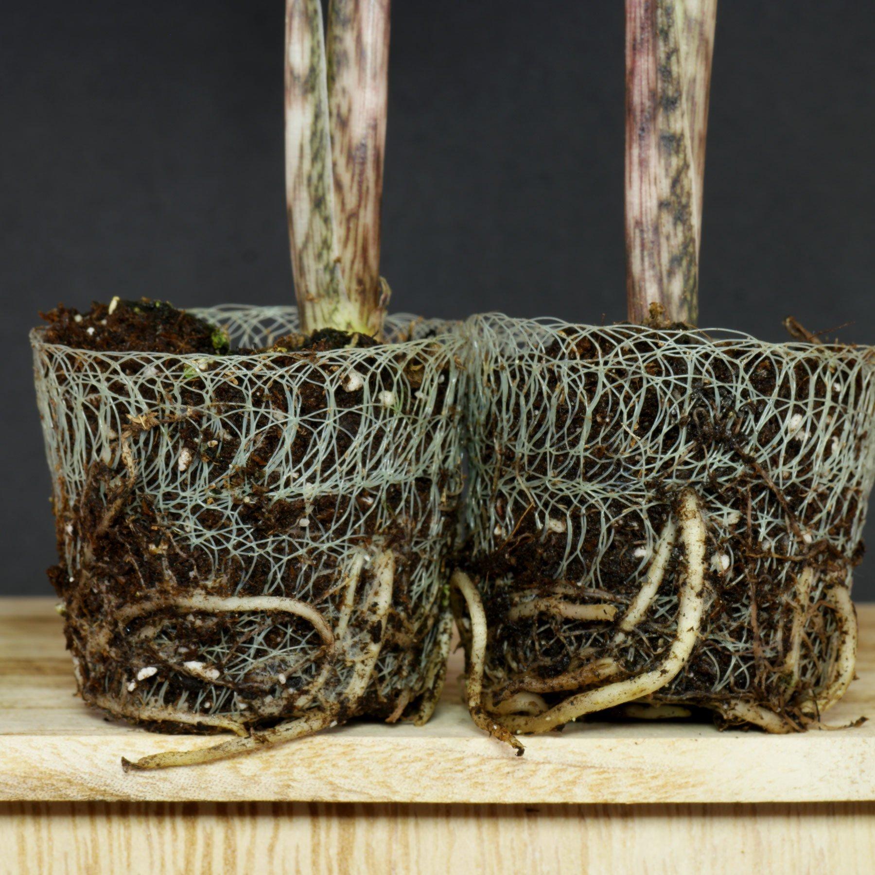 Alocasia zebrina Wurzeln