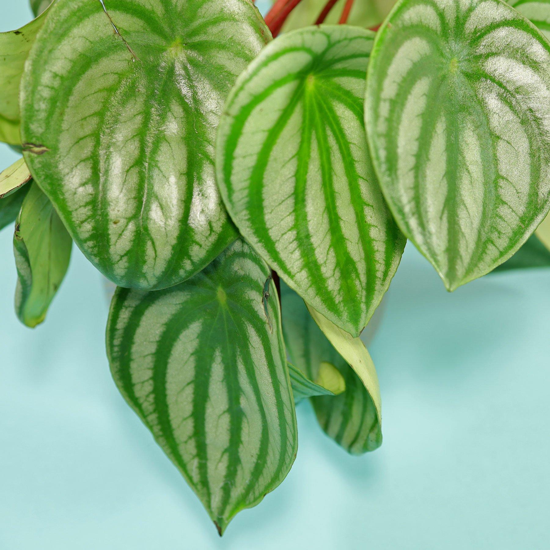 Die Blätter von Peperomia argyreia