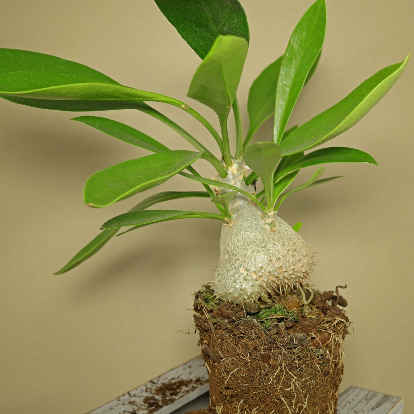 Ameisenpflanze v