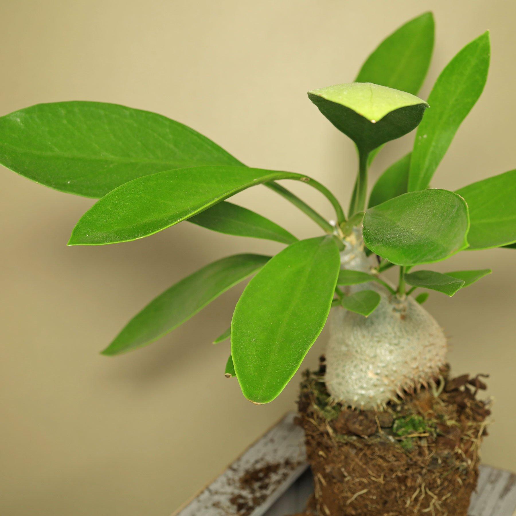Ameisenpflanze