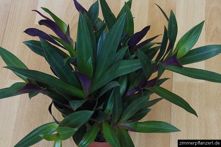 dreimasterblume (tradescantia spathacea),