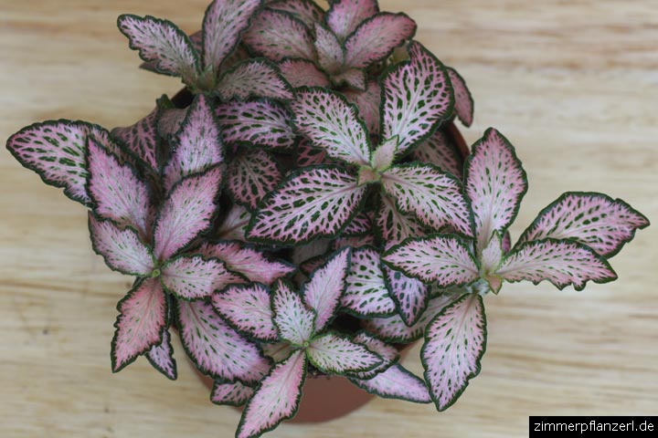 Fittonie Fittonia albivenis