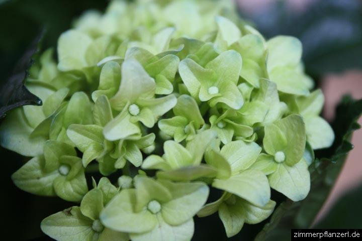 hortensie hydrangea macrophylla. Black Bedroom Furniture Sets. Home Design Ideas