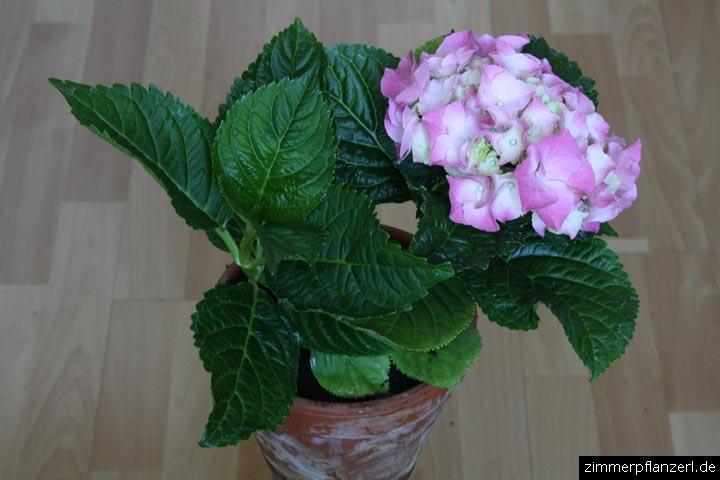 hortensie hydrangea macrophylla zimmerpflanzen pflege. Black Bedroom Furniture Sets. Home Design Ideas