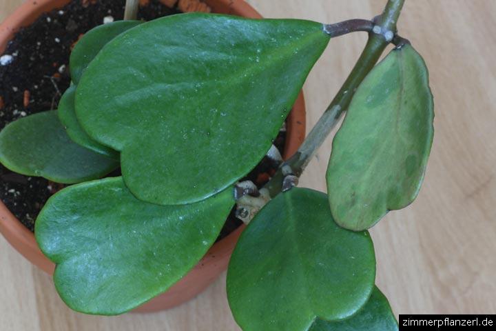 wachsblume (hoya kerrii)