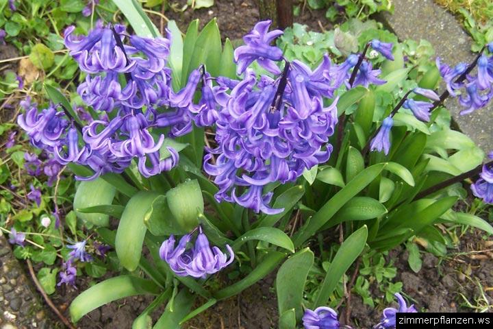 hyazinthe hyacinthus orientalis. Black Bedroom Furniture Sets. Home Design Ideas