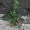 beifuß (artemisia vulgaris)