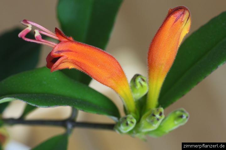 Schamblume (Aeschynanthus speciosus)