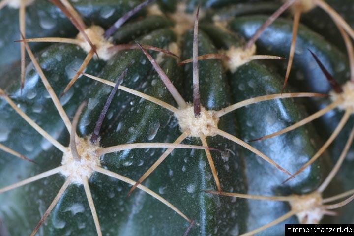 Echinopsis Dornen